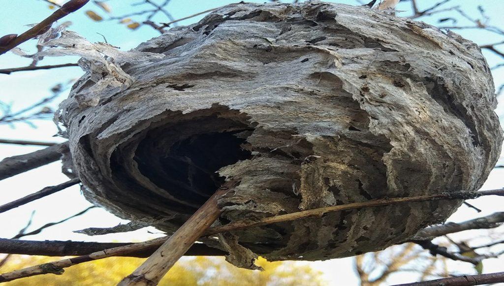 осиное гнездо.